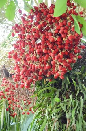 blume: Cyrtostachys renda Blume.
