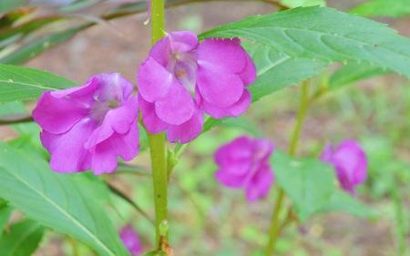 violate: Violate flower