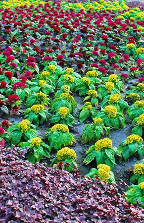 cockscomb: Cockscomb in the garden Stock Photo