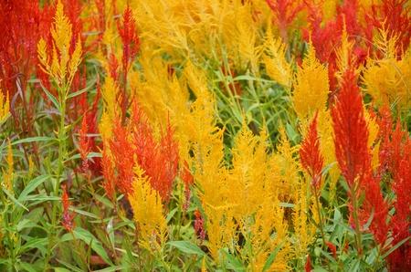 celosia: Celosia argentea L background