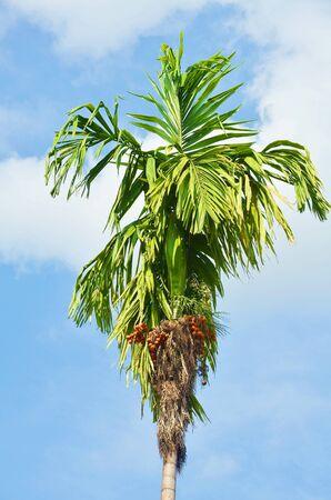 Plam tree Stock Photo