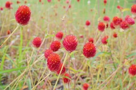 amaranth: Red Globe amaranth Stock Photo