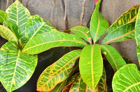 blume: Croton , Codiaeum variegatium (L.) Blume