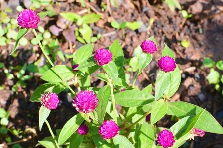 amaranth: Purple Globe amaranth Stock Photo