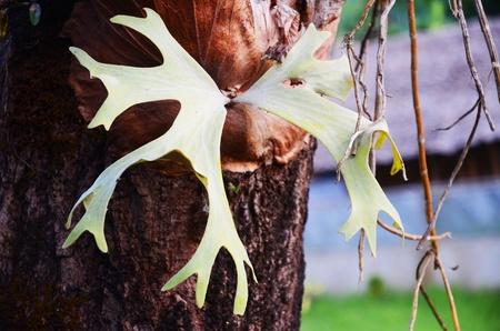 Polypodium polycarpon - wild plant Stock Photo