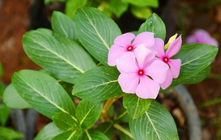 Vinca flower Stock Photo