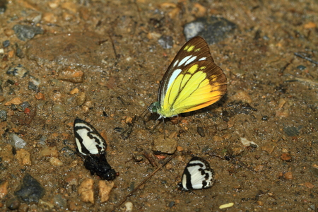 rufous and yellow butterfly. This specie has been found at Kaeng Krachan National Park, Petchaburi, Thailand in June 2016.