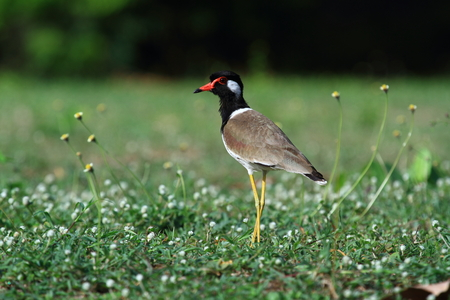 red wattle-lapwing. This is common resident bird in Thailand which has been captured at Hatwanakorn National Park, Prachuap Kirikhan southern province in May 9,2017.