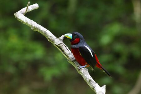 black and red broadbill (cymbirhynchus macrorhynchos). A rare resident bird in Thailand, reduced due to lowland deforestation. This has taken at Kaeng Krachan National Park, Petchaburi.