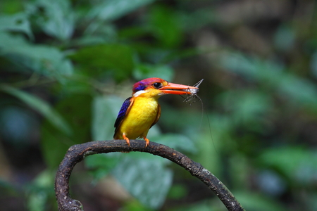 black-backed kingfisher (oriental dwarf kingfisher). This is  uncommon resident and winter visitor bird of Thailand. This has been taken at Kaeng Krachan National Park,Petchaburi. Stock Photo