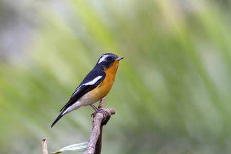 Mugimaki flycatcher (Ficedula mugimaki) This is a male passage migrant and winter visitor bird of Thailand. Its habitat are evergreen forest, wooded gardens, secondary growth down to plains. Stock Photo