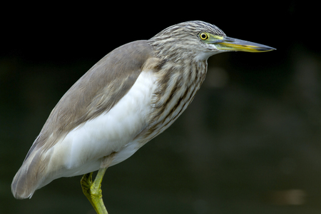 Chinese Pon-Heron (Ardeola bacchus). This is very common winter visitor bird in Thailand could be found in open areas eg. mashes, paddy fields, man groves, inter tidal mudflats.