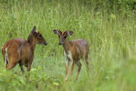 Sam Bar Deer Family. This is the Sam Bar Deer (Rusa unicolor) which has been found in the tropical forest of Southeast Asia. The photo taken from Khao-Yai National Park, Thailand in May 2016. Stock Photo