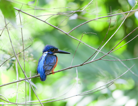 nesting: Blue eared kingfisher. A rare resident bird of Thailand which taken at Khaoyai National Park in July 30,2017. Stock Photo