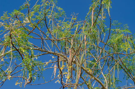Moringa leaves, Moringa flower on tree and blue sky