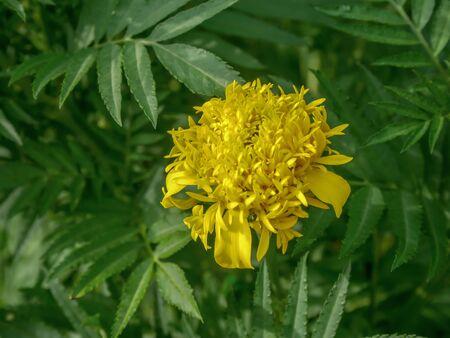 Beautiful yellow marigold in the garden