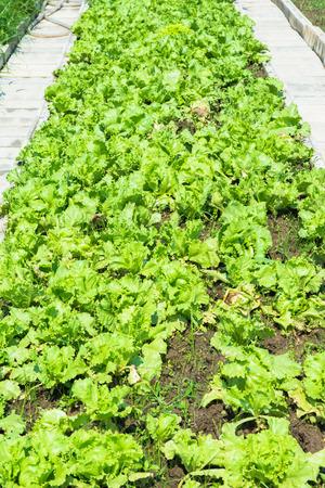 Green vegetables for health