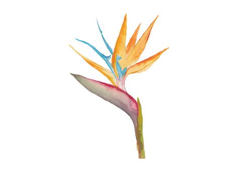 bird of paradise: ave del paraíso de la acuarela 2
