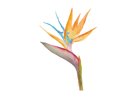 bird of paradise: bird of paradise watercolor 2 Illustration