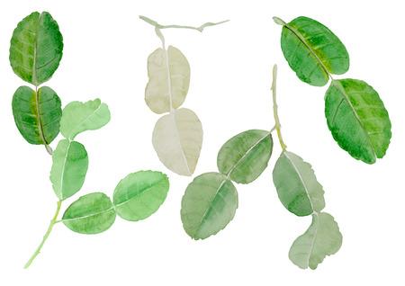 fruit tree: leech lime leaf watercolor illustration vector background