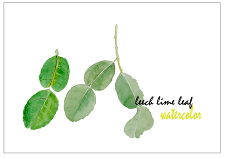 leech: leech lime leaf watercolor illustration vector