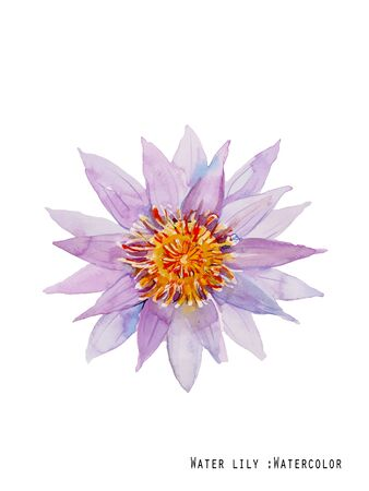 decoraton: purple waterlily watercolor illustration vector