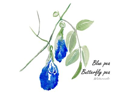 thai herb: Butterfly pea or Blue pea.Hand drawn watercolor painting on white background .Vector illustration