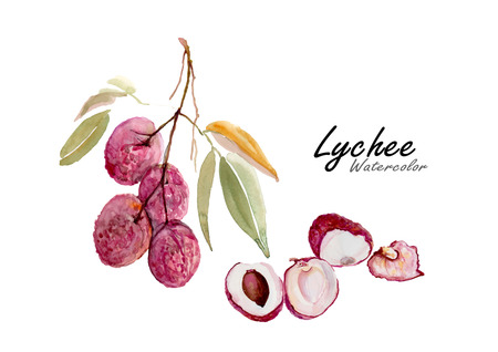 lichi: Lychee or Lichi fruit. Hand drawn watercolor painting on white background. Vector illustration.