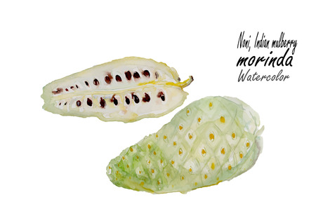 noni fruit: Morinda,Indian Mulberry,Noni fruit . Hand drawn watercolor painting on white background .Vector illustration. Illustration
