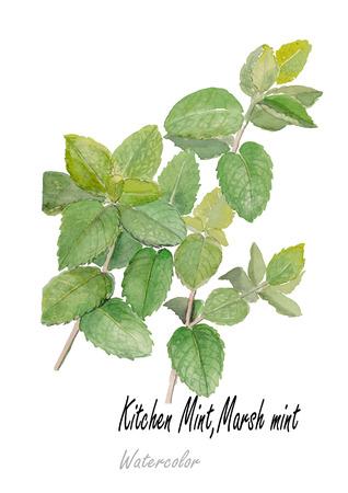 Mint.Hand drawn watercolor painting on white background.Vector illustration Illusztráció
