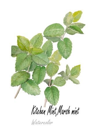 Mint.Hand drawn watercolor painting on white background.Vector illustration Illustration