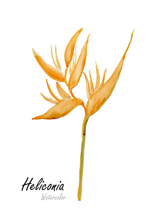 birds of paradise: Heliconia,Yellow Heliconia.Hand drawn watercolor painting on white background.Vector illustration