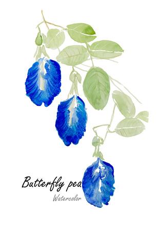 나비 완두콩 또는 블루 완두콩. 손으로 그린 수채화 그림 흰색 배경에. 벡터 일러스트 레이 션