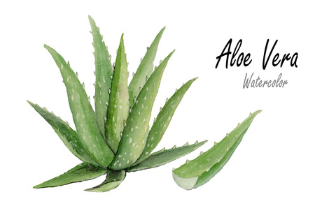 herbal cosmetics: Aloe vera.Hand drawn watercolor painting on white backgrond.vector illustration