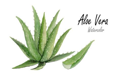 Aloe vera.Hand getekende aquarel schilderij op witte backgrond.vector illustratie