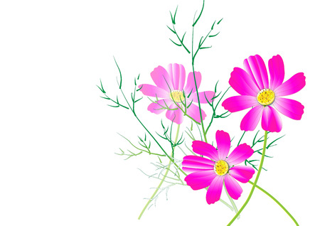Cosmos flowers on the white background,pink cosmos Vector illustration Illustration