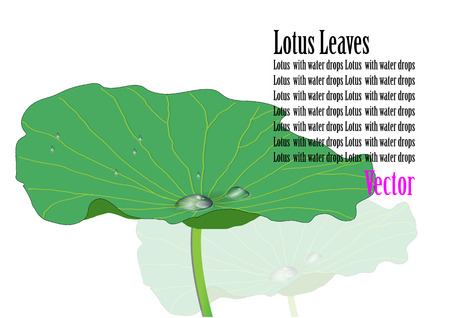 lily pads: Lotus leaves with water drop vector illustration Illustration