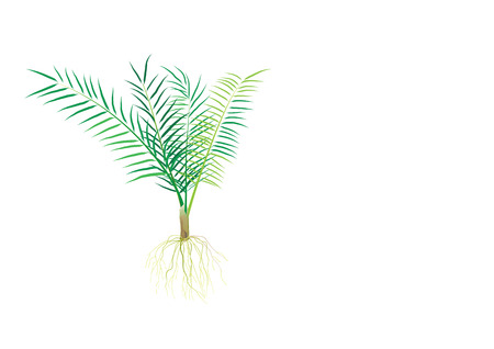 young palm oil ,incubate palm with roots isolated