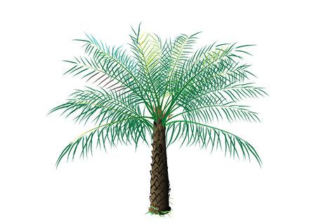 palmeras: �rbol de aceite de palma en el fondo blanco, ilustraci�n vectorial