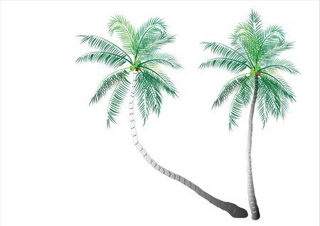 exotic fruit: Coconut tree on white background