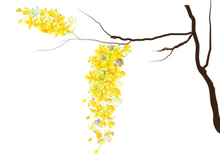 yellow flowers: Golden shower flowers or Ratchaphruek ,yellow flowers watercolor look  on white background,set of asean national flower for Thailand