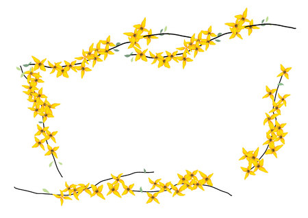 Forsythia ,weeping, yellow flowers with branch on white background