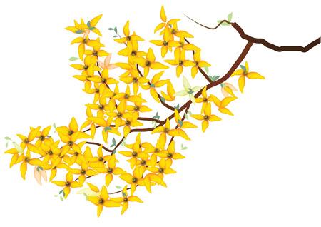 Forsythia, huilen, gele bloemen met een tak op een witte achtergrond