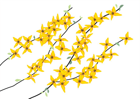 forsythia: Forsythia ,weeping, yellow flowers with branch on white background