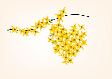 weeping: Forsythia ,weeping, yellow flowers with branch on white background