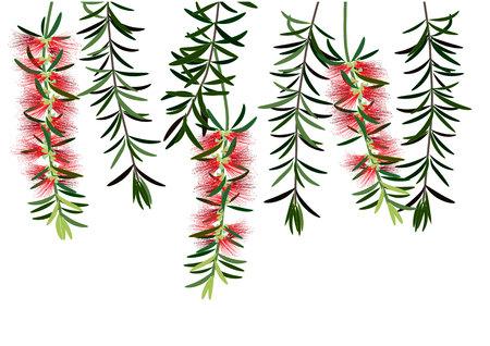 bottle brush flowers or callistemon  ,red flower on white background,vector illustration