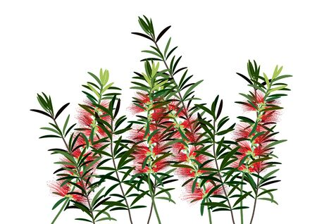 callistemon: bottle brush flowers or callistemon  ,red flower on white background,vector illustration