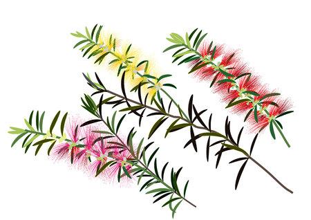 bottle brush flowers or callistemon  ,yellow,pink,redflower on white background,vector illustration