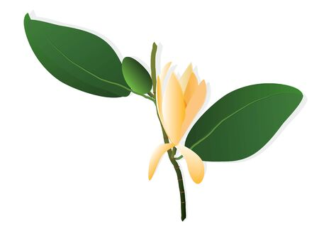 yellows: Ylang-ylang  flower ,yellows flowers on white background