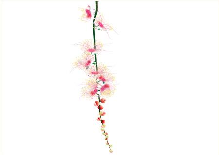 barringtonia: Barringtonia flowers on white background ,isolated
